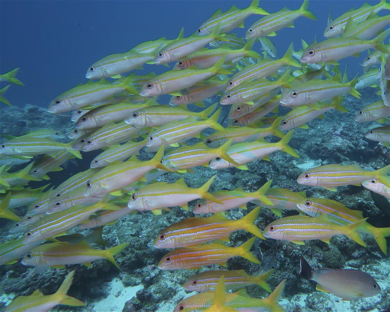 Himmafushi Faru