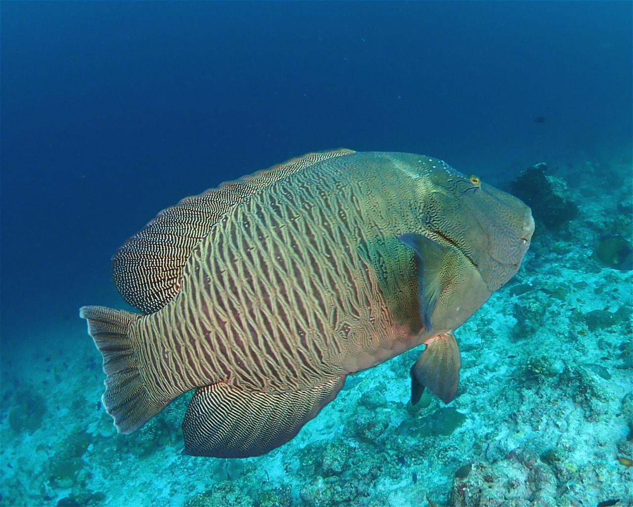 Napoleon Reef