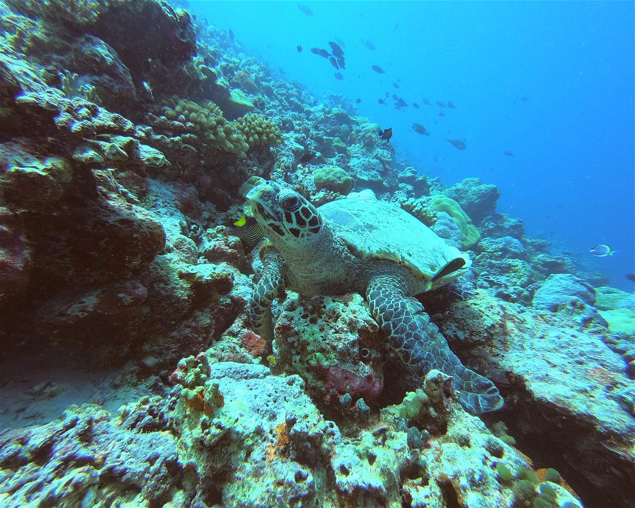 Thoddoo Turtle / Vella Ulhey Than